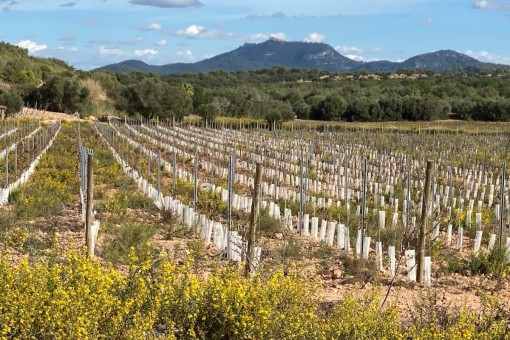 Exclusive building plot with vineyard and enchanting panoramic views in Cas Concos