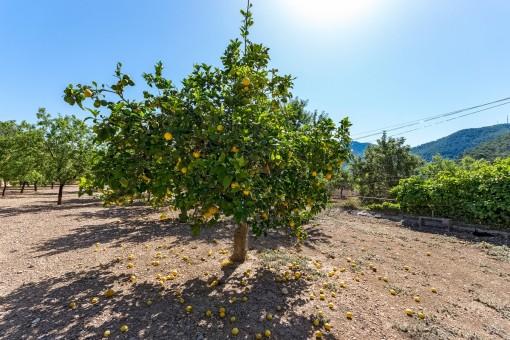 Private lemon trees