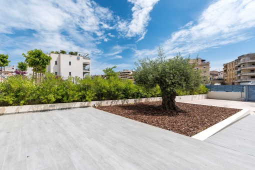 Large terrace with olive tree
