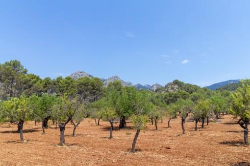 Fruit tree plantation