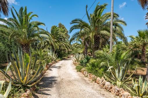 Enchanting palm tree driveway to the finca